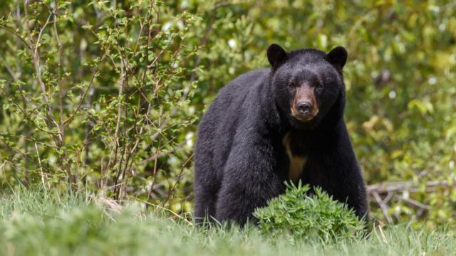 Bear Awareness Training Online
